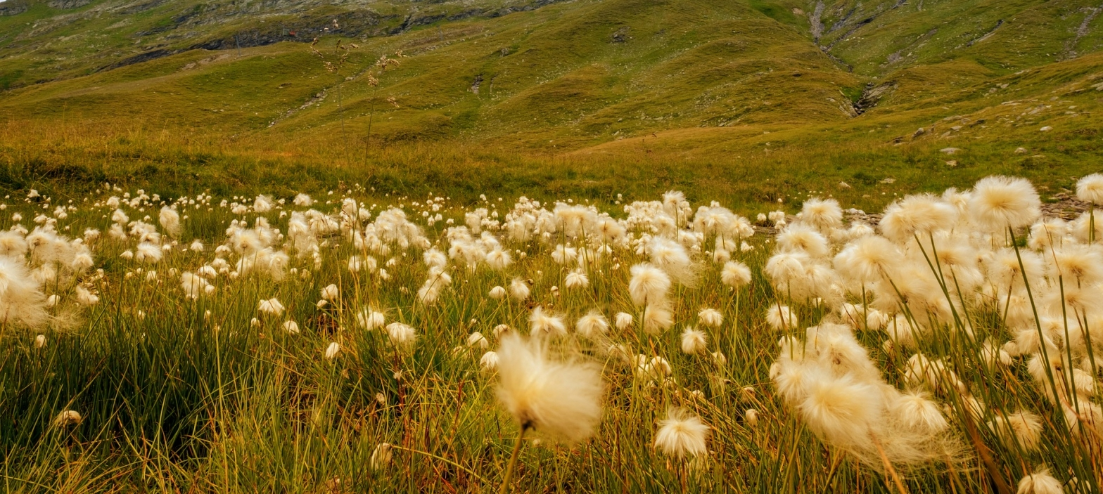Poetry A field of soft white cotton grass in a backdrop of green rolling hills. All kissed in the golden warm sunlight