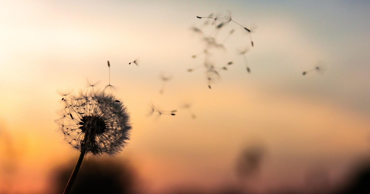 Poetry Dandelion against a sunset sky with seeds floating away with the wind