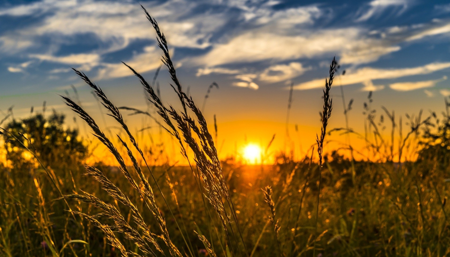 Poetry a field of tall wheat stalks against a sunset